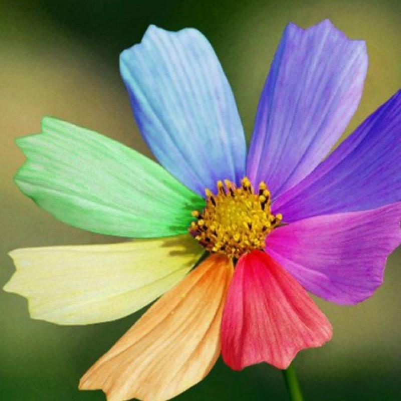 Что это за цветок – цветик-семицветик? Или это только выдумка писателя?