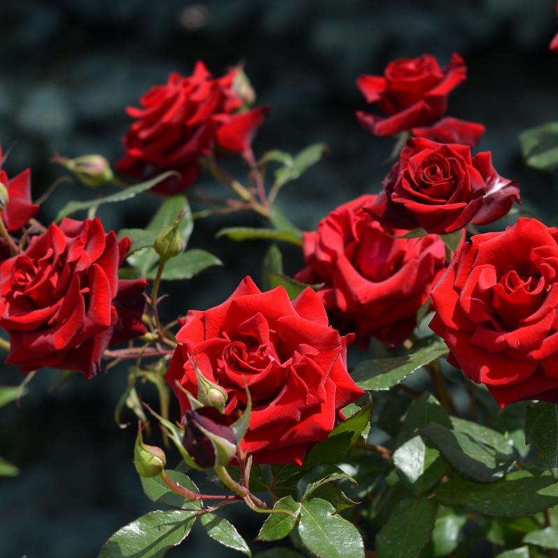 Как из черенка розы вырастить куст