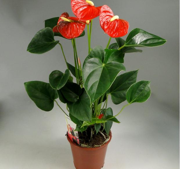 Антуриум андрианум Беби Оранж
