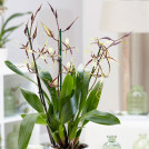 Орхидея Брассия Тоскана (Орхидея Паук) 60 см