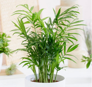 Хамедорея Элеганс (Бамбуковая пальма) 30 см