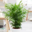 Хамедорея Элеганс (Бамбуковая пальма) 95 см
