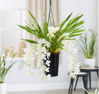 Орхидея каскадная Цимбидиум Сара Джейн (Айс Каскад) 60 см