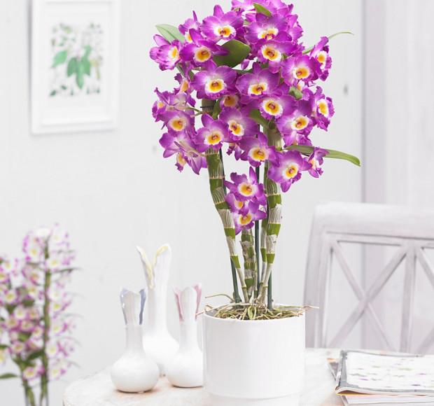 Орхидея гибридная Дендробиум Нобиле 60 см