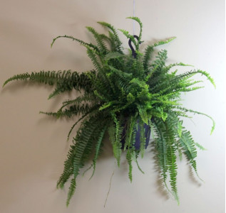 Папоротник Нефролепис возвышенный Зеленая леди 25 см