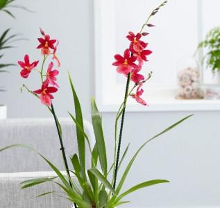 Орхидея гибридная Буррагеара Нелли Айслер 60 см
