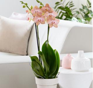 Орхидея Фаленопсис Грандифлора Равелло 65 см