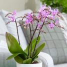Орхидея Фаленопсис дикий розовый 45 см