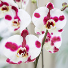 Орхидея Фаленопсис Полька Дотс 55 см