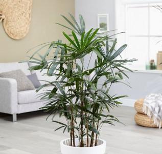 Рапис (Бамбуковая пальма) 1,7 м