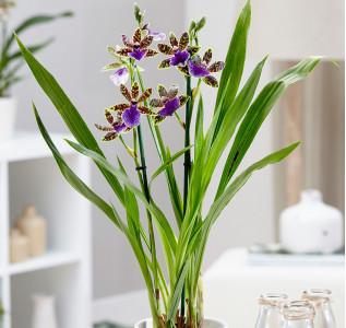 Орхидея Зигопеталум Трози Блю 60 см