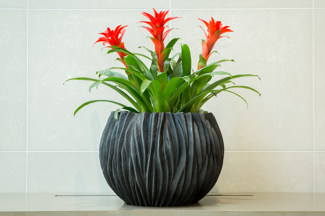 Цветок гузмания: фото, уход в домашних условиях