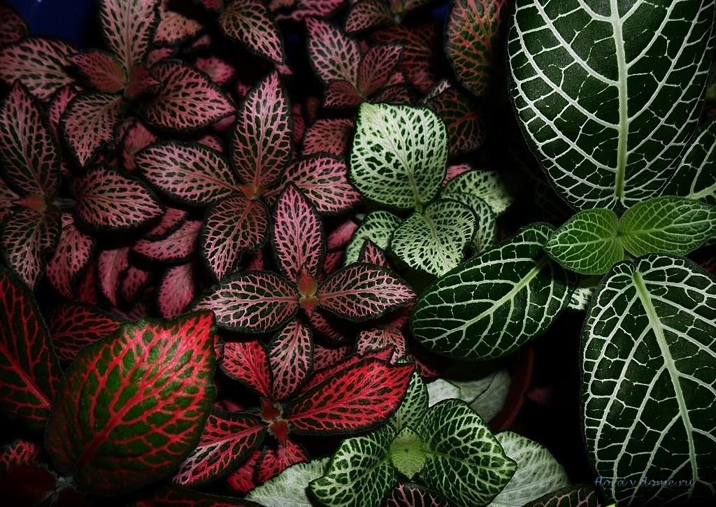 Комнатные цветы фото названия и уход фиттония