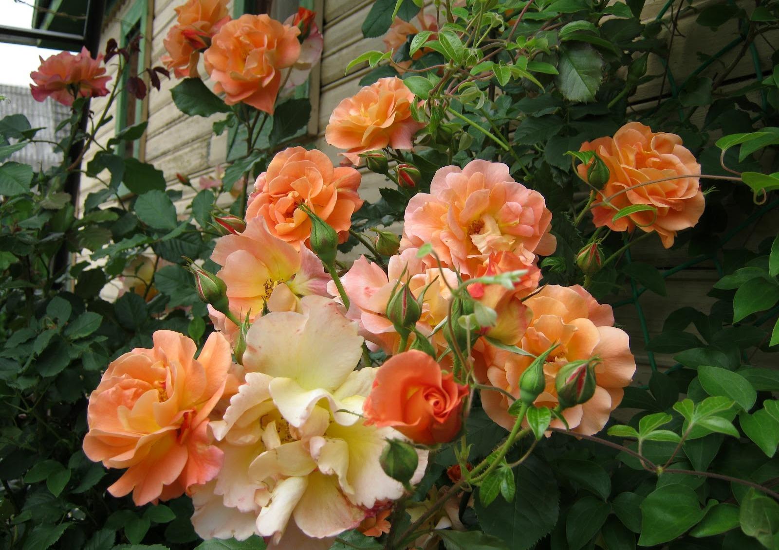 роза парковая вестерленд фото описание элегантности, утонченности